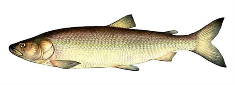 Белорыбица, или нельма, – что это за рыба