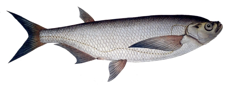 Стайная рыба чехонь