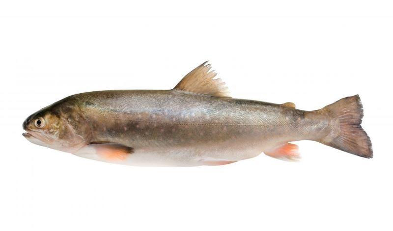 Рыба голец - холодолюбивая и очень вкусная