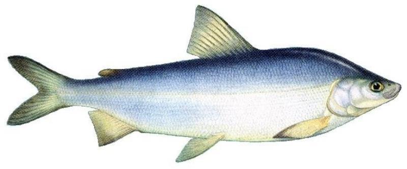 Необычная северная рыба муксун