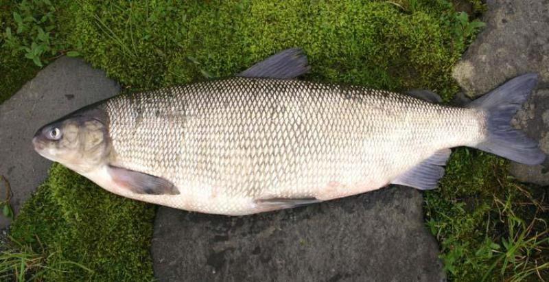 Северная рыба фото