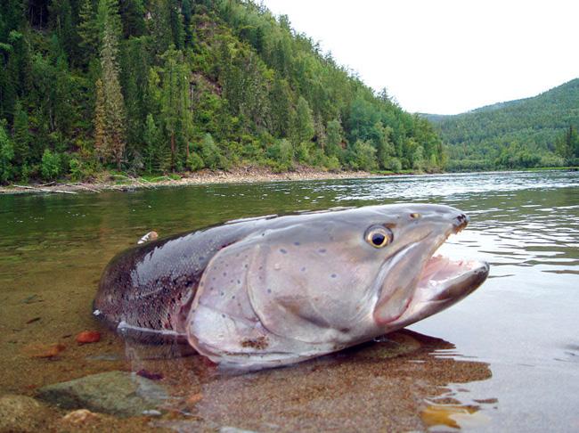 таймень фото рыбы