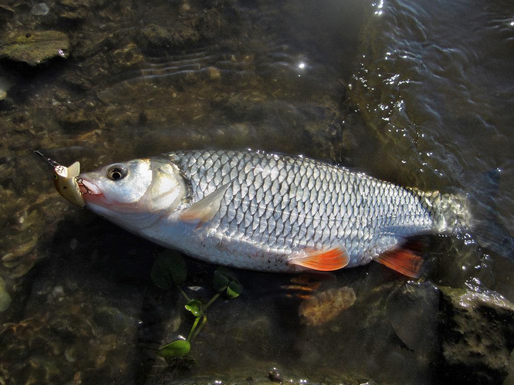 рыбы нижегородской области фото и названия хочу
